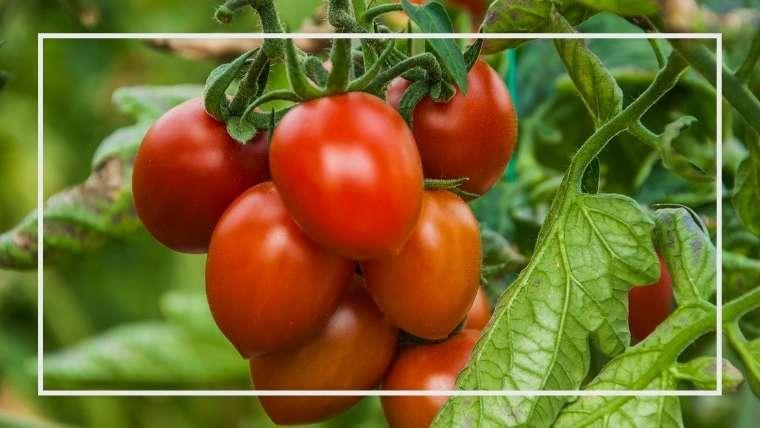 トマト 育て 芽 ミニ 方 わき
