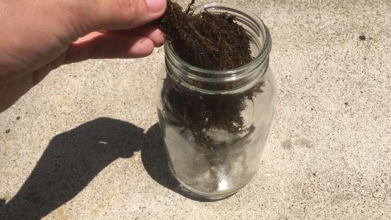 海藻を容器に詰める