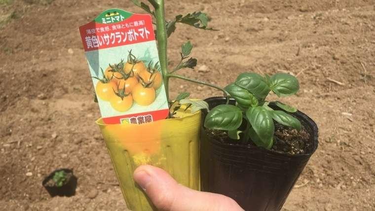 トマトとバジルのコンパニオンプランツ