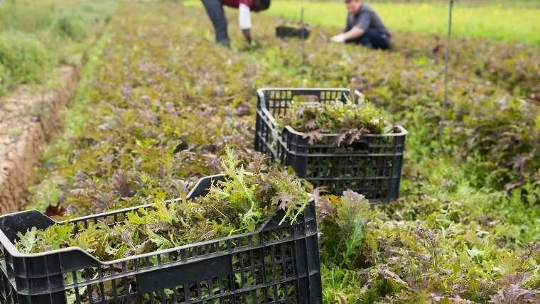 水菜の栽培について