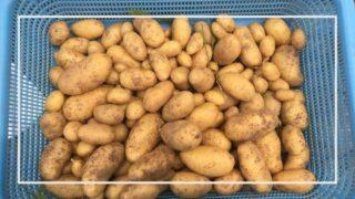 ジャガイモの育て方・栽培方法