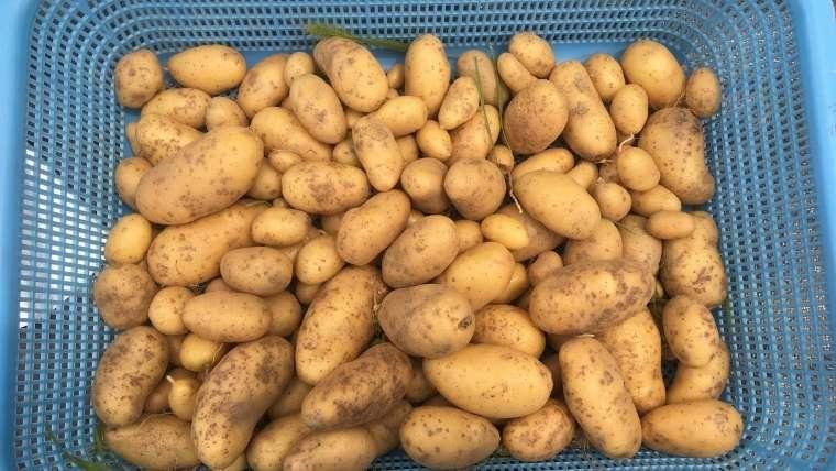 ジャガイモの保存