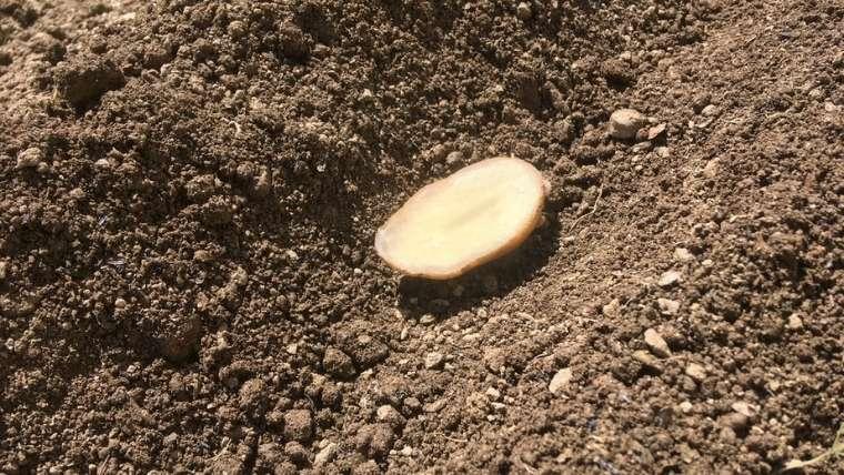 ジャガイモの超浅植え