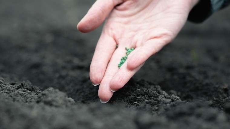大根の種植え