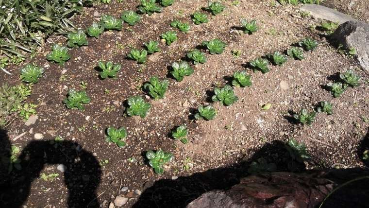 タアサイの植えつけ