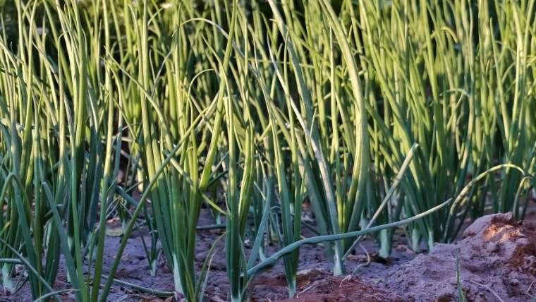 ネギの収穫