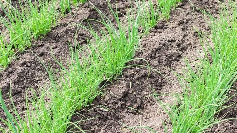 長ネギの斜め植え