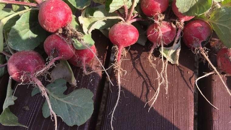 ラディッシュ栽培について