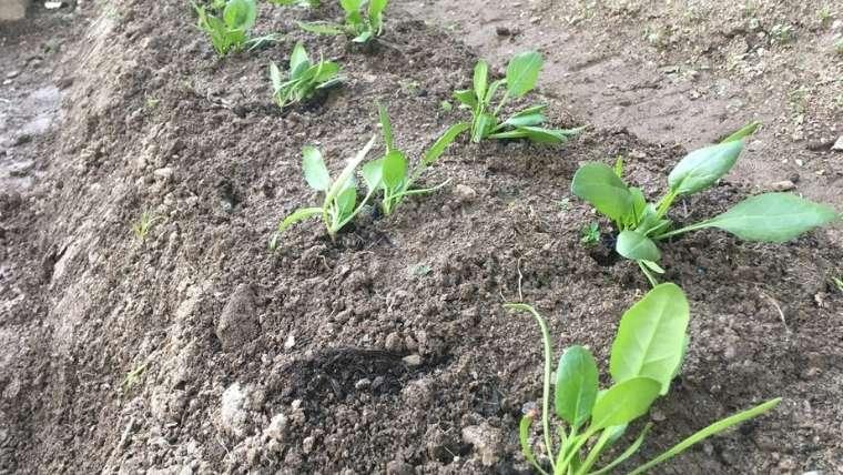 ホウレンソウの植えつけ