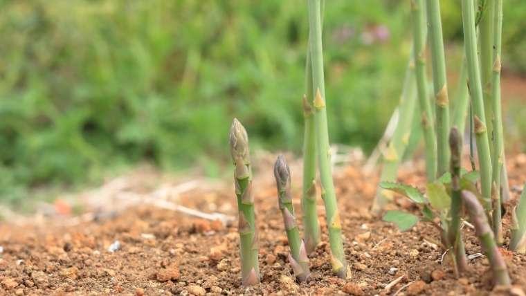 アスパラガス栽培について