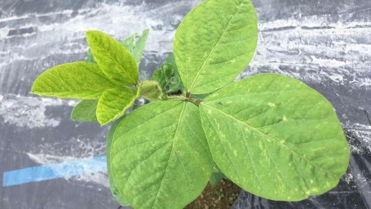 枝豆の植えつけ