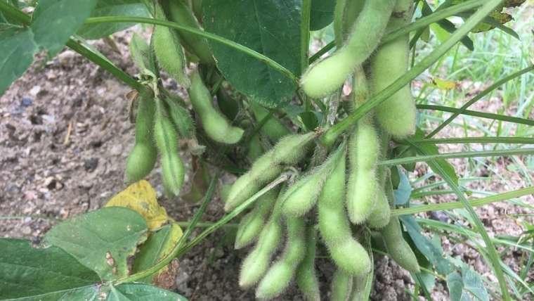 栽培 枝豆 枝豆の栽培方法・育て方の特徴【摘心のやり方は?失敗する原因は?】
