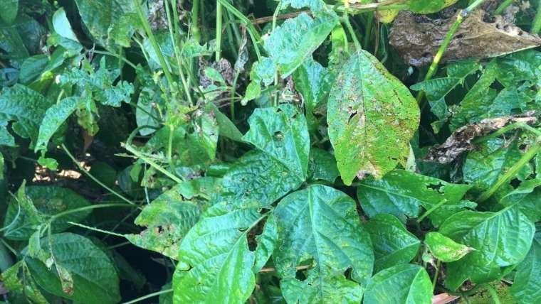 枝豆の斑点細菌病