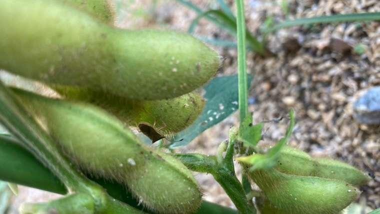 枝豆とカメムシ