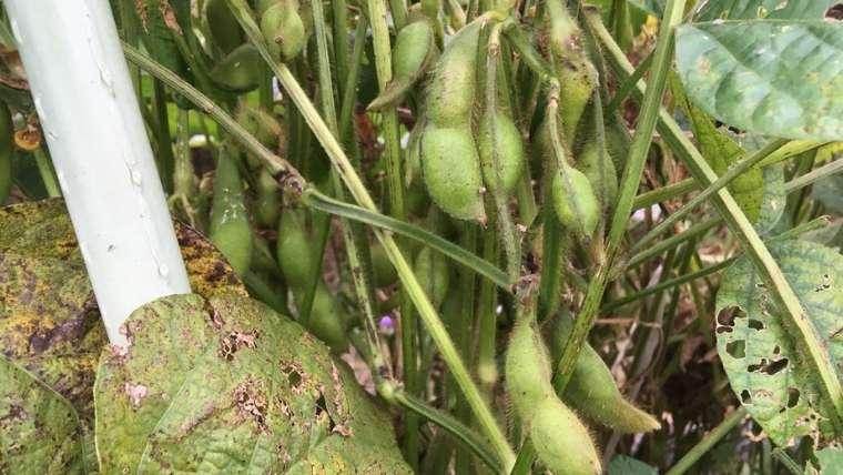 黒豆の実が膨らむ
