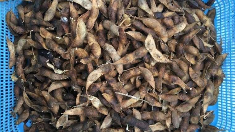 黒豆の乾燥完了