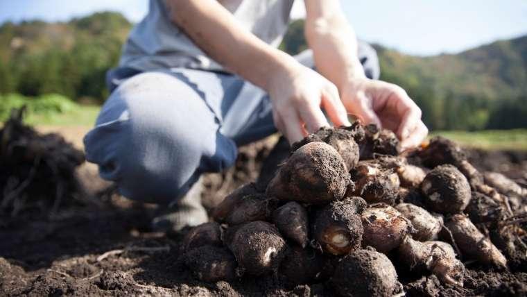 サトイモ栽培について
