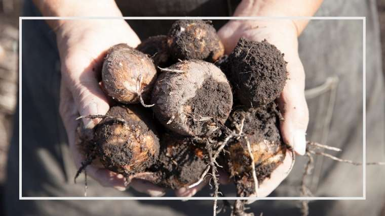 サトイモの育て方・栽培方法