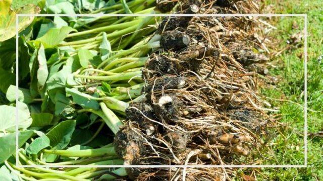 サトイモ栽培のコツ