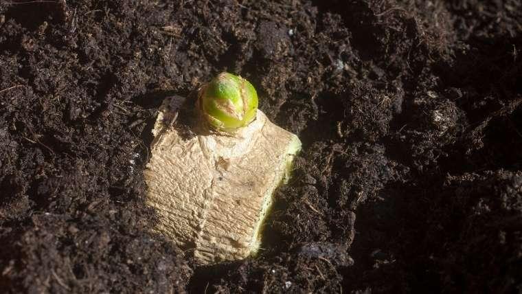 ショウガの芽