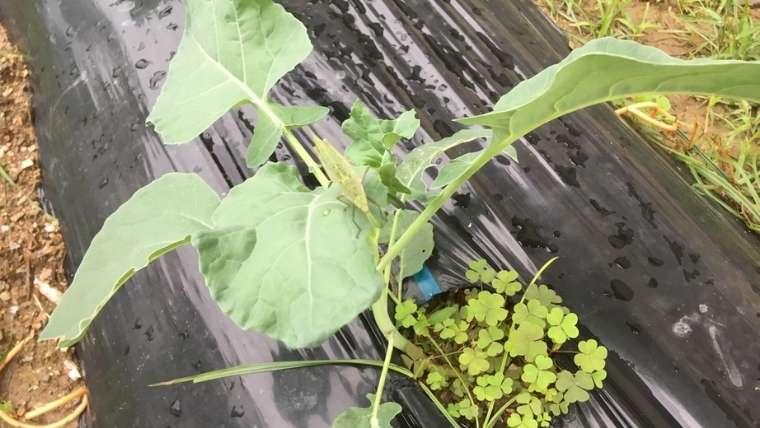 カリフラワーの1回目の追肥・土寄せ