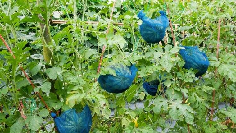 小玉スイカの立体栽培・立体仕立て