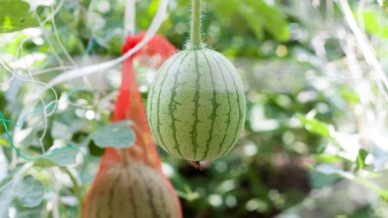 スイカの立体栽培(摘心・摘果)