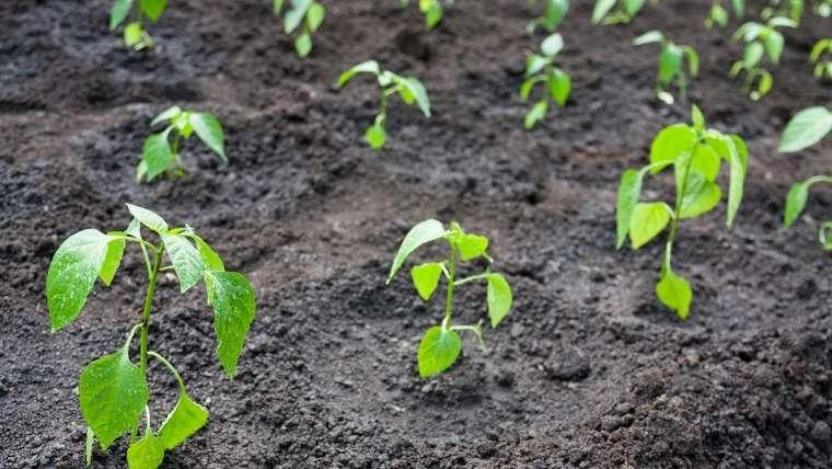 品質の良いトウガラシを育てる