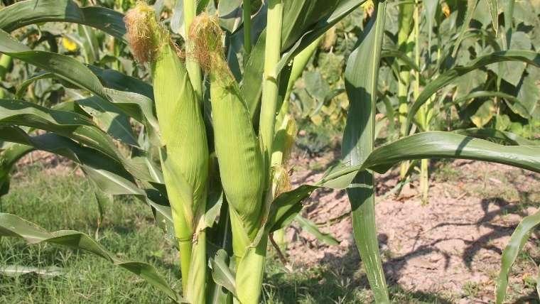 トウモロコシ栽培について