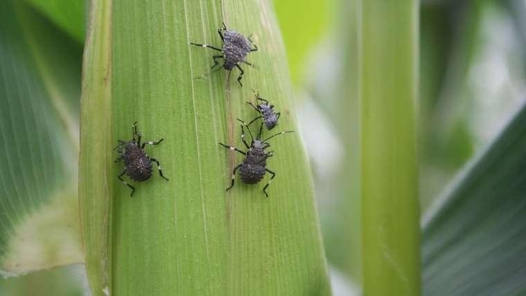 トウモロコシの害虫