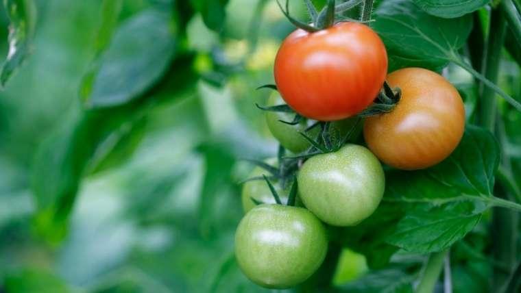 トマト栽培について