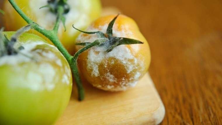 トマトの灰色カビ病