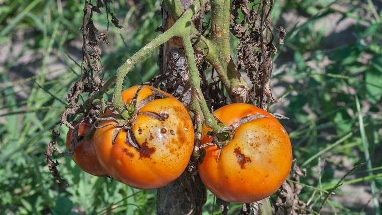 トマトの疫病