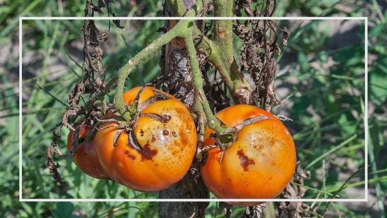 トマトの病害虫【決定版】