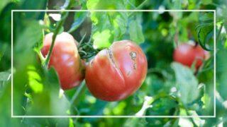 トマトのよくある生育不良【一覧】
