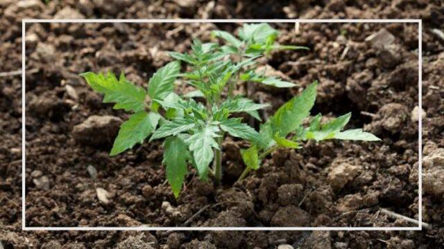 トマトの上手な育て方|ポット植え、早植え