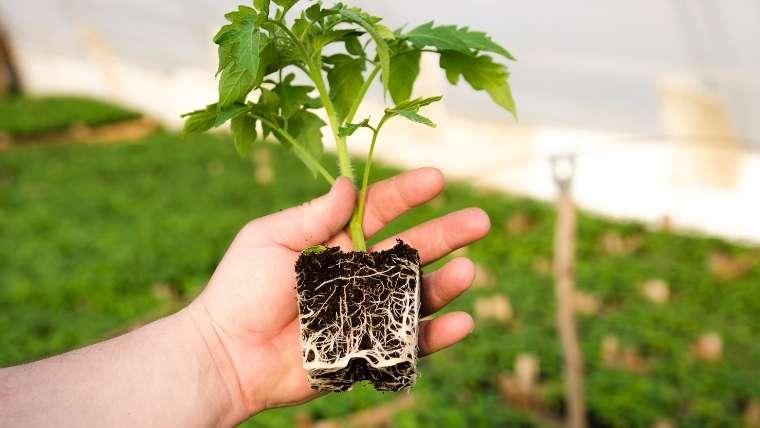 トマトの根切り植え