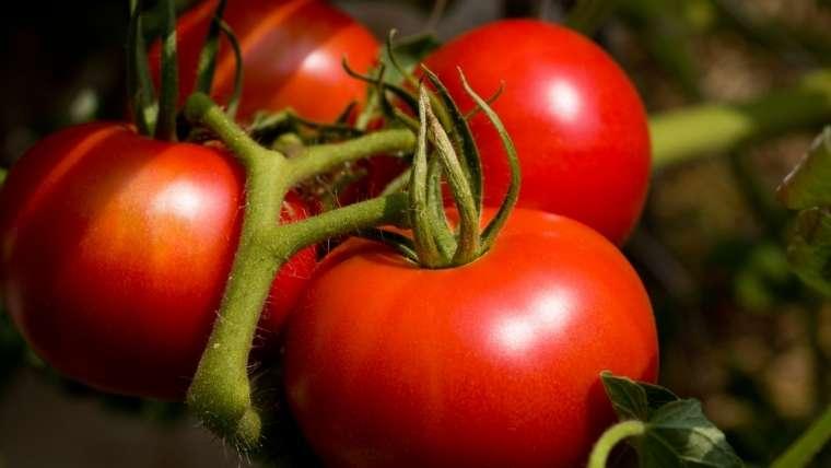 トマトの袋がけ植え