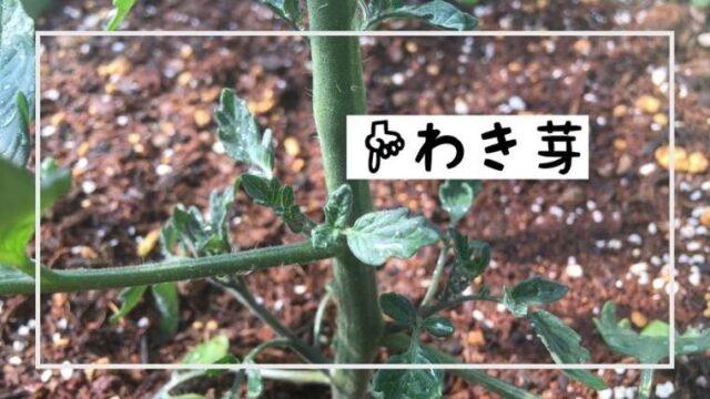 トマトの上手な育て方|根切り植え|脇芽植え