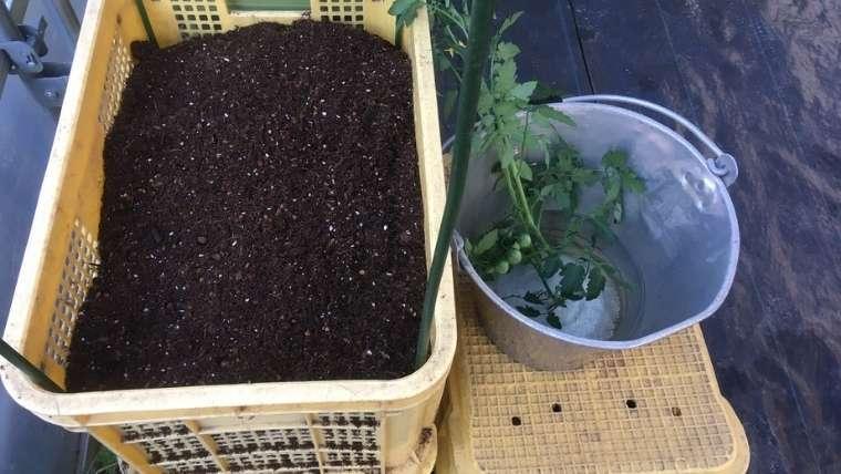 トマトのコンテナ栽培