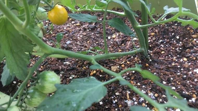 トマトの主枝と側枝