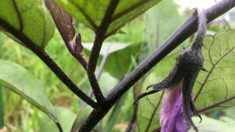 ナスの一番花の下のわき芽を残す