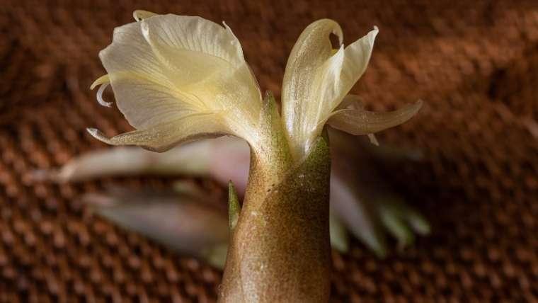 ミョウガの種まき・植えつけ
