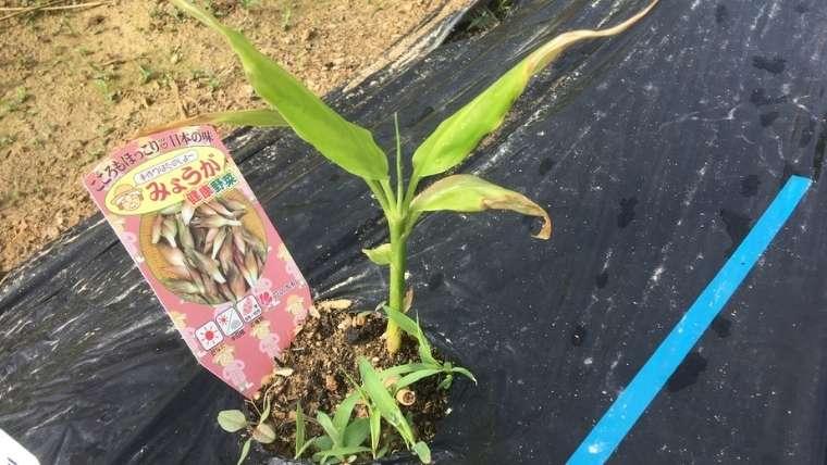 ミョウガの植えつけ
