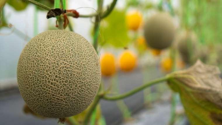 メロン栽培について