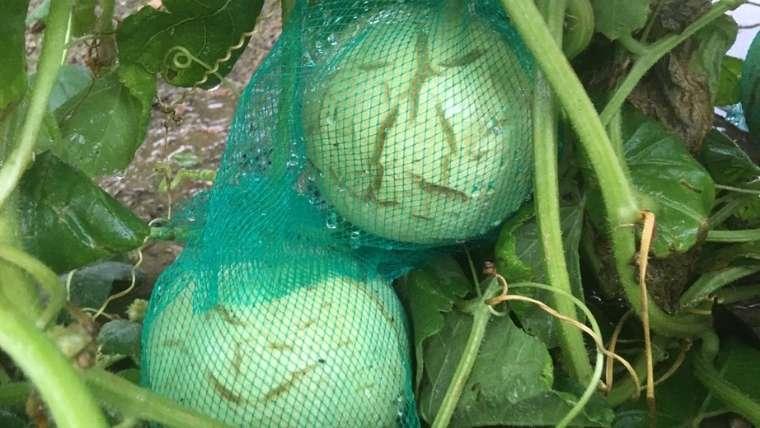 メロンの摘果