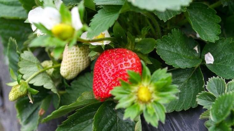 イチゴの品種