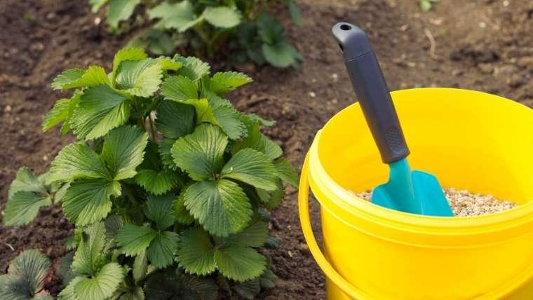 イチゴの追肥・土寄せ