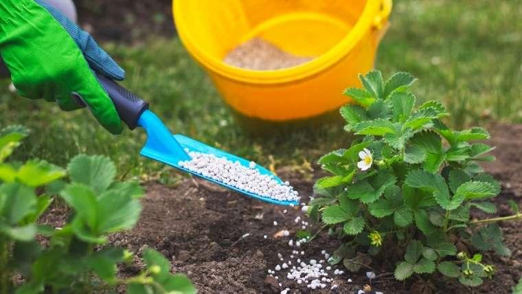 イチゴの肥料・土寄せ