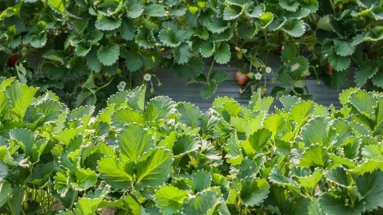 イチゴの摘葉